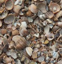 North Sea shells washed