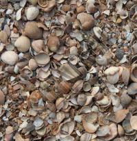 Coquilles de la mer du Nord